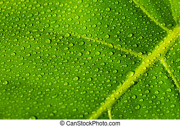 woda krople, na, roślina, liść, closeup, -, rosa, kropelki