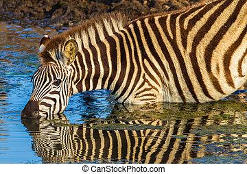 woda, napój, odbicia, alarm, zebra