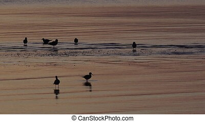 woda, oystercatchers, ptaszki, silhouet