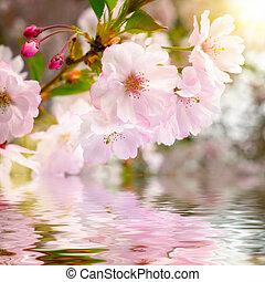 woda, wiśnia, odbicie, kwiaty