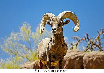 woestijn, groot gehoord schaap, in, wildernis