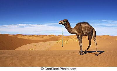 woestijn, kameel
