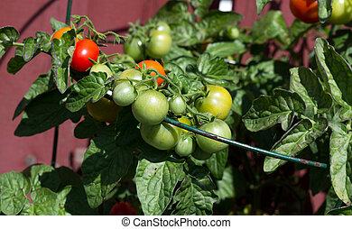 wole, pomidor, wiśnia