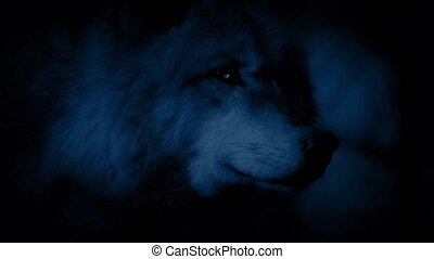 Wolf Alert In Forest At Night
