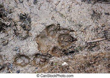 wolf and fox tracks