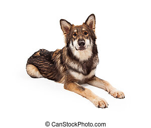 Wolf and German Shepherd Cross Dog Laying