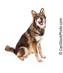 Wolf and German Shepherd Cross Dog Sitting