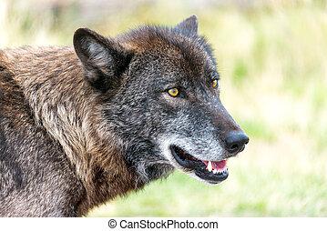 Wolf Closeup View