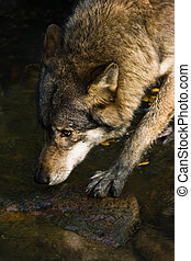 Wolf crossing the water