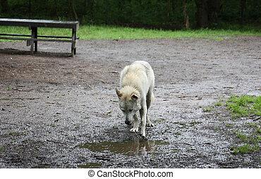 Wolf Dog 001