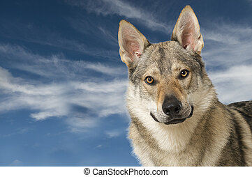 Wolf dog with blue sky