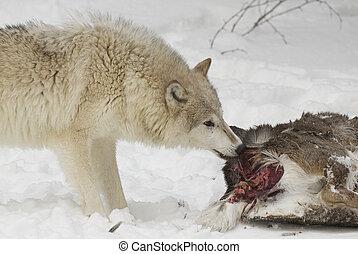Wolf eating part of mule deer in white snow