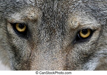 Wolf Eyes - Close up of the yellow eyes of a Timber Wolf