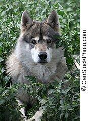 Wolf Eyes - Taken in Colorado, 2009 at a wildlife park...