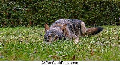 Wolf Face Close Up - Gray Wolf on the grass