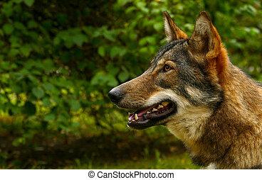Wolf Face Close Up portrait