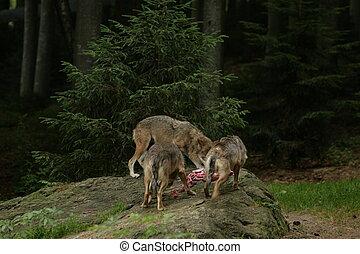 wolf feeding