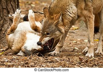 wolf fighting