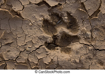 Wolf footprint - Image of a wolf foot print in desert land