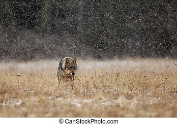 Wolf from Finland. Gray wolf, Canis lupus, in the early winter, on the meadow near forest. Wolf in the nature habitat. Wild.