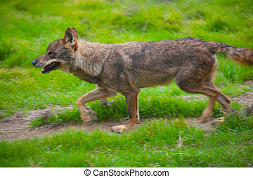Wolf from spain running motion blur on green grass