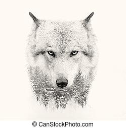 wolf, gezicht op, witte achtergrond, dubbele blootstelling