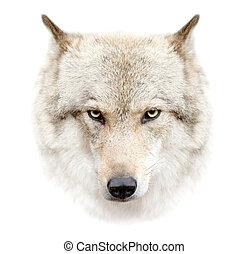 wolf, gezicht op, witte achtergrond