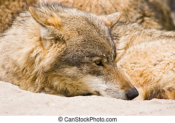 Grey wolf resting in the early morning sun