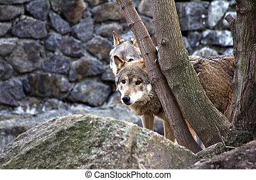 wolf, grijze