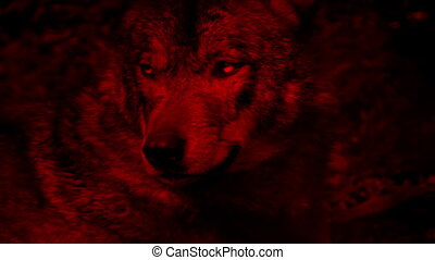 Wolf Growls Blood Red Abstract - Large adult wolf growls and...