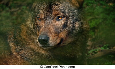 Wolf Growls In Forest Closeup - Closeup of wolf in sunny...