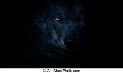 Wolf Growls In The Darkness - Wolf face closeup in the dark