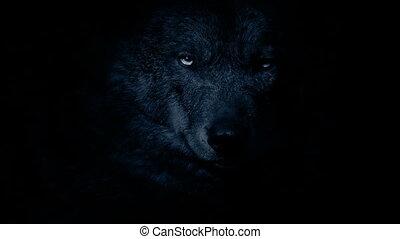 Wolf face closeup in the dark