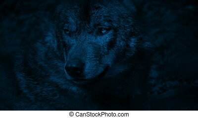 Wolf Growls In The Forest At Night
