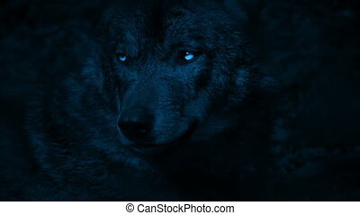 Closeup of large wolf in the woods at night snarling and showing teeth