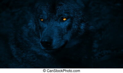 Wolf Growls With Glowing Eyes At Night - Big wolf with fiery...
