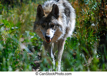 Wolf heading your way