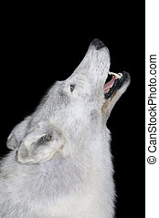 A taxidermy full body mount of a Canadian gray wolf howling