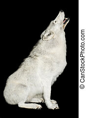 Taxidermy mount of canadian wolf howling isolated over black
