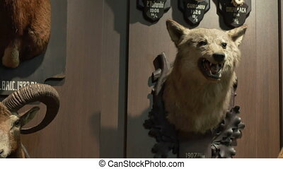 Wolf Hunting Trophy - A hunted wolf trophy hanged on the...
