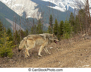 Male Timber Wolf on logging road in Rocky Mountains near Golden, British Columbia, Canada.