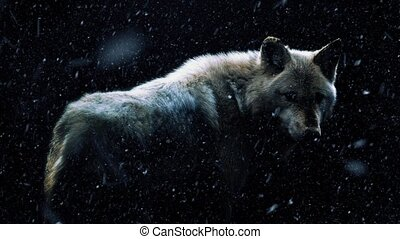 Wolf in dramatic lighting in the dark with snow falling