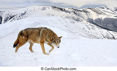 Wolf in mountain