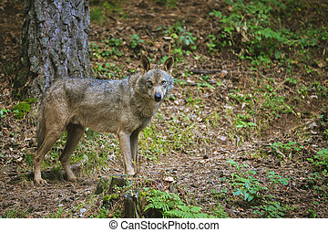 wolf in the forest looking at camera