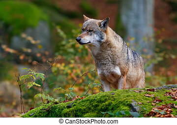wolf in the forest