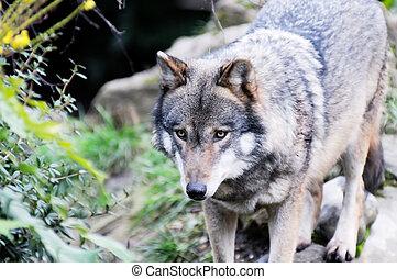 Wolf in wildnerness