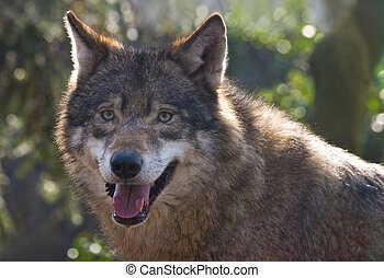 Wolf in winter sun