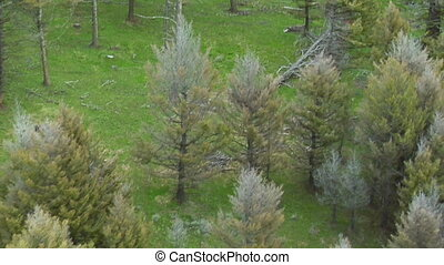 Wolf in woods near Paradise Valley Montana, aerial shot