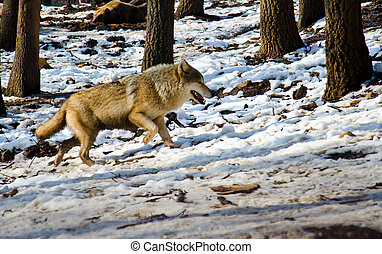 Wolf is walking in the forest