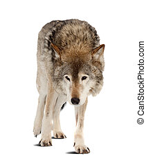 wolf. Isolated over white background with shade